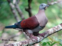 Zoe Imperial Pigeon (Ducula zoeae)