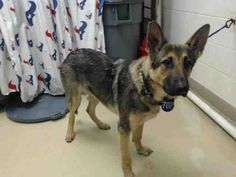 12/06/16- ALL DOGS SUPER URGENT AT OVER CAPACITY HOUSTON FACILITY - This DOG - ID#A473770  I am a male, brown and black German Shepherd Dog mix.  My age is unknown.  I have been at the shelter since Dec 09, 2016.  This information was refreshed 39 minutes ago and may not represent all of the animals at the Harris County Public Health and Environmental Services