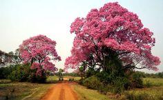 Ipês-rosa ou piúvas, Pantanal Sul (MS)