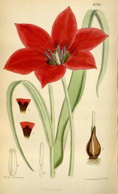 Tulipa kolpakowskiana - circa 1883