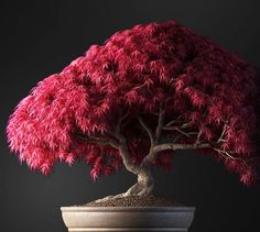 Where should you buy bonsai trees for sale? Bonsai trees add color and fun to your home decor and this tree in particular maple will do the trick. Bonsai Acer, Buy Bonsai Tree, Bonsai Trees For Sale, Bonsai Tree Types, Indoor Bonsai Tree, Bonsai Plants, Bonsai Garden, Cacti Garden, Japanese Maple Bonsai