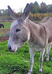 If you're going to have livestock, you need a guardian for your flock!  Consider a Guard Donkey!