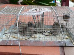 An Australian poultry forum - Backyard Poultry, home of exhibition and backyard poultry in Australia and New Zealand. Chickens, waterfowl,other poultry. Founded by Andy Vardy. Rat Traps, Backyard Poultry, Mouse Traps, Survival Tips, Bushcraft, Mice, Homestead, Birds, Animal
