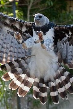 harpy eagle. I may never hold one, but I really want to meet one of these gorgeous birds!