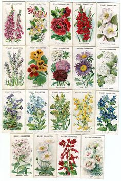 Names and pictures of traditional English garden flowers.
