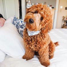 Goldendoodle Full Grown, Chien Goldendoodle, Goldendoodle Haircuts, Goldendoodle Miniature, Goldendoodle Grooming, Mini Goldendoodle Puppies, Cavapoo, Standard Goldendoodle, Super Cute Puppies