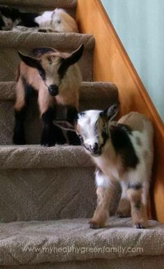 Nigerian Dwarf goats are a great choice for any size homestead, who are short on space. Nigerian goats are the perfect small scale dairy animal. Gato Bengali, Animals And Pets, Cute Animals, Goat Care, Nigerian Dwarf Goats, Raising Goats, Raising Farm Animals, Baby Goats, Mini Goats