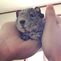Little Billy Blob is a peanut bear Cute Small Animals, Cute Baby Animals, Beautiful Creatures, Animals Beautiful, Animal Pictures, Cute Pictures, Pet Guinea Pigs, Cuddle Buddy, Fluffy Animals