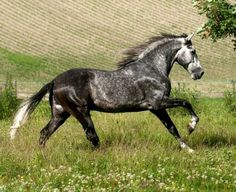 Pura Raza Española stallion. photo: Ivonka Dopieralski.