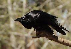 Australian Raven - Bing Images