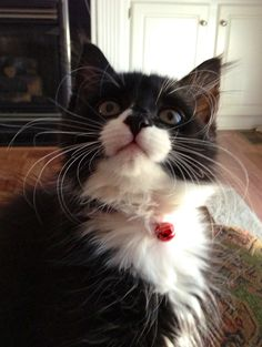 Ollie, my Tuxedo cat. | Animals | Pinterest #meow - Find out at - Catsincare.com!