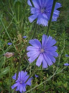 How to Use Chicory Root coffee. yes that pretty blue flower that grows along roadsides is chicory. A biennial plant related to the chicory in salads. Survival Food, Homestead Survival, Edible Wild Plants, Chicory Root, Living Off The Land, Wild Edibles, Healing Herbs, Edible Flowers, Medicinal Plants