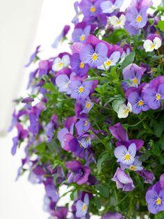 Plentifull Lavender Blue Pansy