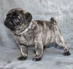 How awesome are brindle Pugs?! . .  www.jointhepugs.com  . .#pugpower #blackpug #cutedog #instadog #pugnation #pugpuppy #puglover #pugoftheday #dogs #dogstagram #dogsofinstagram #happydog #puppyeyes #dogsofinstaworld #petstagram #pets #puglovers #pugsnotdrugs #pugrequest #votepug #pugchat #instapug #cuteness #pug #pugs #fawnpug #brindlepug