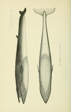 On the external characters and biology of Bryde's Whale (Balænoptera brydei), a new Rorqual from the coast of South Africa