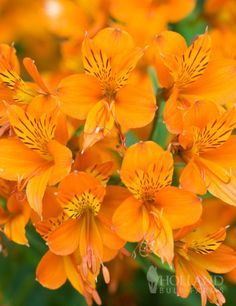 Orange King Alstroemeria (Peruvian Lily)  lstroemeria are a common wedding flower for bouquets, and are often found in floral arrangements. However they are a lovely perennial in zones 7-10, and can perennialize in zone 6 if provided good insulation of there roots.  Alstroemeria prefer moist, organic rich soil that drains well. In growing season water frequently and fertilize monthly. Avoid watering in winter, as this can cause rot.   Perennial in Zones 7 - 10. Alstroemeria bulb size No 1…