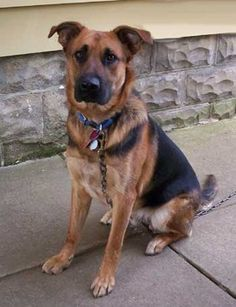 German Shepherd Dog Mix available for adoption in Ohio.      http://www.examiner.com/article/german-shepherd-mix-available-for-adoption-near-akron-oh