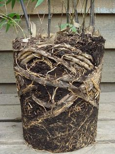 A well balanced set of Black Bamboo roots Bamboo Hedge, Bamboo In Pots, Potted Bamboo, Hedging Plants, Privacy Plants, Roof Plants, Garden Privacy, Privacy Landscaping, Landscaping Ideas