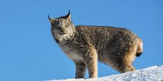 Lynx and 97% of the animals on the government's list of threatened and endangered species are imperiled by these chemicals. (11147 signatures on petition)