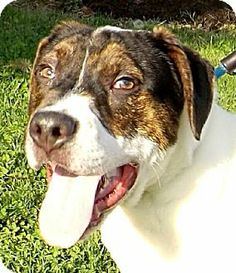 ADOPTED! Westampton, NJ - Staffordshire Bull Terrier Mix. Meet Bandit a Puppy for Adoption.  Bandit is a happy, energetic, 3 month old male puppy who weighs 28.2 pounds.  With leash training, Bandit would make a wonderful walking companion!