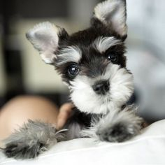 Maybe you've just adopted a Schnauzer into your family and don't know what to call them yet. If you're looking for the best name for a Schnauzer dog, you've come to the right place! Here are 30 of the best sweet names for Schnauzer dogs! Miniature Schnauzer Puppies, Schnauzer Puppy, Schnauzers, Miniature Dogs, Cute Puppies, Cute Dogs, Dogs And Puppies, Doggies, Mini Puppies