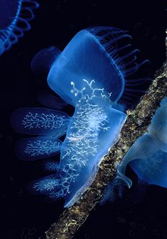 Hooded Nudibranch (Melibe leonina) / British Columbia, Canada