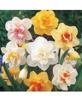 00733089c1f686ecb9e1f53ae77dfb38 - Double Daffodil Bulb Mix - 10 Bulbs