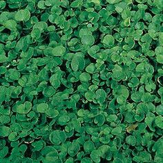 """Dichondra micrantha or """"Penny Grass"""" is a great ground cover and alternative to a lawn. Grew up with this grass in Northern California. So soft to cartwheel on. Ground Cover Seeds, Ground Cover Plants, Formal Gardens, Outdoor Gardens, California Garden, Southern California, Green Lawn, Lawn Care, Along The Way"""