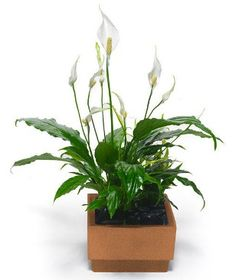 Healthiest house plants ~ Peace lily (Spathiphyllum) The peace lily is the only air-cleaning plant on our list that flowers. It is a pro at removing many toxins from the air, including acetone, benzene, alcohols, and ammonia. To keep it healthy and insect-free, you'll need to wash the leaves occasionally.