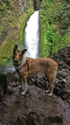 sable smooth collie, Wahclella falls trail, Oregon
