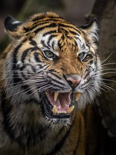 Nature Animals, Animals And Pets, Cute Animals, Majestic Animals, Animals Beautiful, Tigre Animal, Tiger Fotografie, Tiger Art, Tiger Drawing