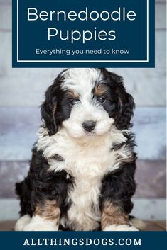 Bernedoodle Puppies: Read on to learn everything you need to know about grooming and training this hapy-go-lucky hybrid breed. Best Family Dog Breeds, Family Dogs, Happy Family, Low Shedding Dog Breeds, Poodle Mix Breeds, Poodle Puppies, Puppies Tips, Bernedoodle Puppy, Rare Dogs
