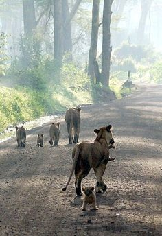 """Lionesses and Cubs: """"Out For A Family Stroll..."""""""