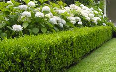 Hydrangeas and buxus hedge