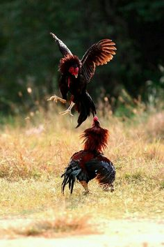 Tips To Stop Chickens From Pecking One Another – Chicken In The Shadows Rooster Images, Rooster Art, Chicken Painting, Chicken Art, Beautiful Chickens, Beautiful Birds, American Game, Hahn Tattoo, Farm Animals