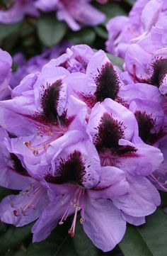 "Rhododendron ""Hachmann's Metallica"" from http:/crocus.co.uk/.  A new flower that blooms in May & June."