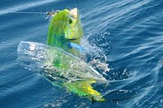 Interesting take on science, weather & our oceans...10 exotic fish El Niño might send to California...this beautiful guy is a Mahi-mahi or Dorado.
