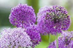 Allium er betegnelsen for en gruppe af prydløg, der er på toppen af haveejeres favoritlister over hele verden. Læs her alt blandt andet om kendetegn,...