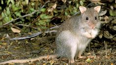 Rufous bettong: Common on the north east coast of Australia, known as the rat-kangaroo and they hop like kangaroos too