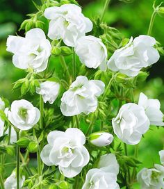 Geranium 'White Snow Double', hardy perennial