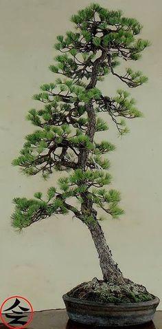 RP: Japanese 5-Needle Pine