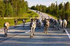 Reindeer in Finland lapland wander freely around. Be aware when you drive there! Lappland, Finland Country, Out Of Africa, City Landscape, Famous Places, Helsinki, Pet Birds, Reindeer, Scandinavian