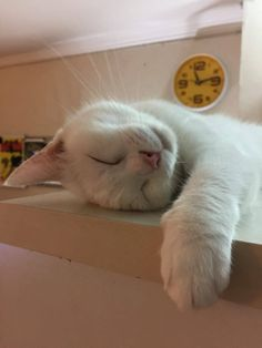 Cats Sleep I've had 3 beautiful short haired Domestic white cats in my life. Shilo, Dammit & Dancer (yes, there's a story to Dammits name lol) All About Cats, Cat Sleeping, Cat Supplies, White Cats, Cat Health, Cat Furniture, Cat Food, Cat Breeds, Cool Cats