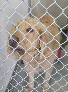 ~ Animal ID #A4832220 ‒ My Name is JACKSON. I am a Male, White Standard Poodle and Golden Retriever. The shelter thinks I am about 4 years old. I have been at the shelter since May 19, 2015. L.A. County Animal Care Control: Castaic Shelter ‒ (661) 257-3191 31044 N. Charlie Canyon Rd. Castaic, CA https://www.facebook.com/OPCA.Shelter.Network.Alliance/photos/pb.481296865284684.-2207520000.1432411731./824735397607494/?type=3&theater