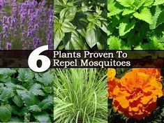 6 Plants Proven To Repel Mosquitoes  Lemon balm, marigolds, catnip, basil, lavender and citronella grass