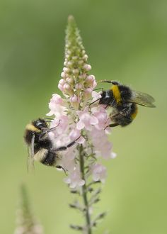 """""""Two bee or not two bee"""" (on pink toadflax) I Love Bees, Birds And The Bees, Bee Moth, Humble Bee, Buzzy Bee, Bees And Wasps, Beautiful Bugs, Bee Happy, Save The Bees"""