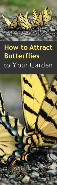 How to Attract Butterflies to Your Garden. Also, gardening hacks, pest control.