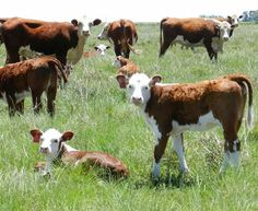 Pampa in pampa. Mini Hereford, Hereford Cattle, Cattle For Sale, Beef Cattle, Cute Cows, Watercolor Animals, Old West, Livestock, Farm Animals