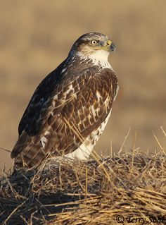 Ferruginous Hawk (Buteo regalis), is a large bird of prey and belongs to the broad-winged buteo hawks. The preferred habitat for Ferruginous Hawks are the arid and semiarid grassland regions of North America.