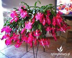 Grudnik jak uprawiać aby zakwitł na święta? #rytmynatury#grudnik#zygokaktus#rośliny#plants#Święta#Bożenarodzenie